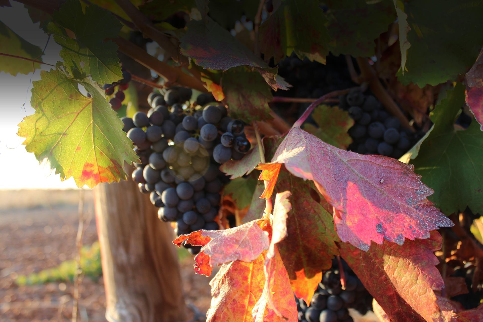 Bodegas Pelaez uvas
